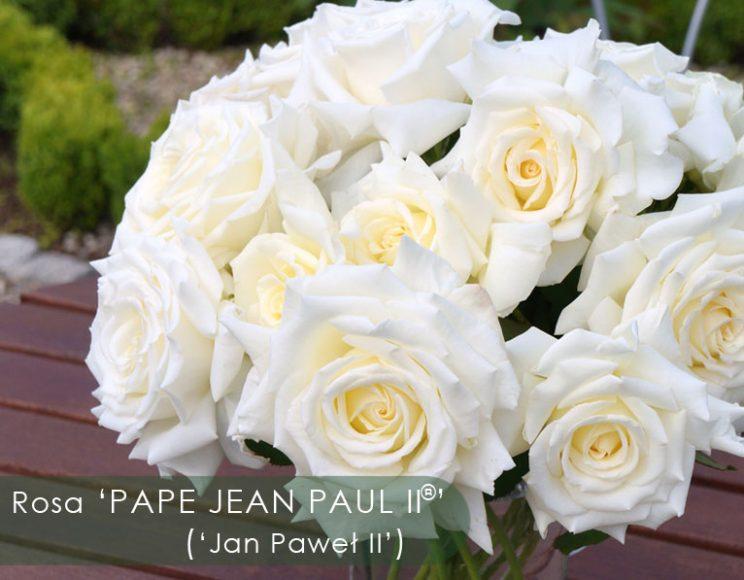 róża Jana Pawła II