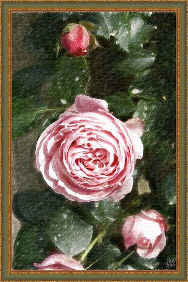 różą pink obraz