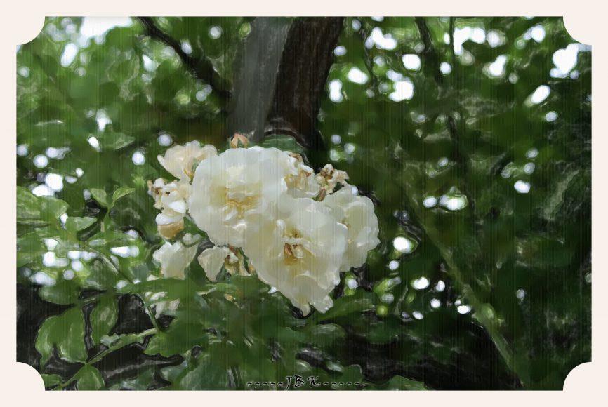 DSC00558 biala róza