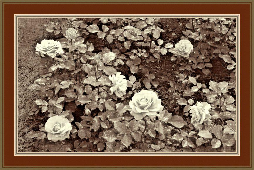 róże sepia