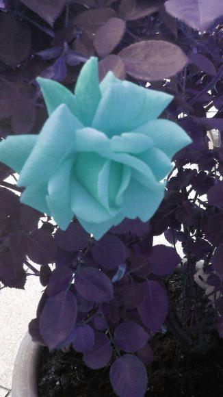 niebieskaróża